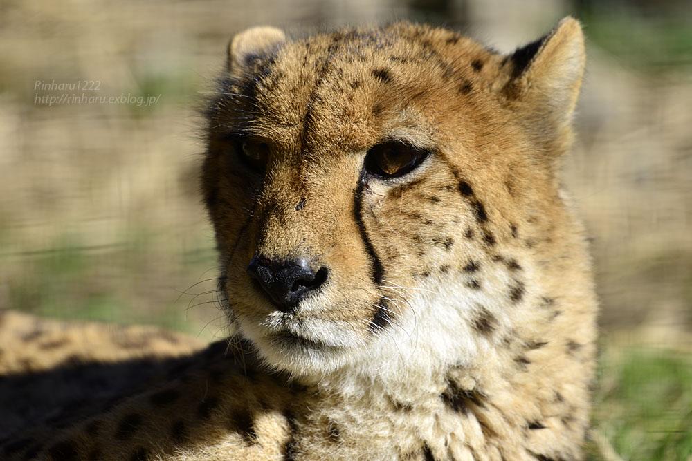 2016.11.30 群馬サファリパーク☆チーター男子部【Cheetah】_f0250322_20302752.jpg