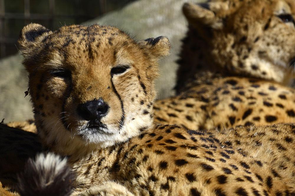 2016.11.30 群馬サファリパーク☆チーター男子部【Cheetah】_f0250322_20304838.jpg