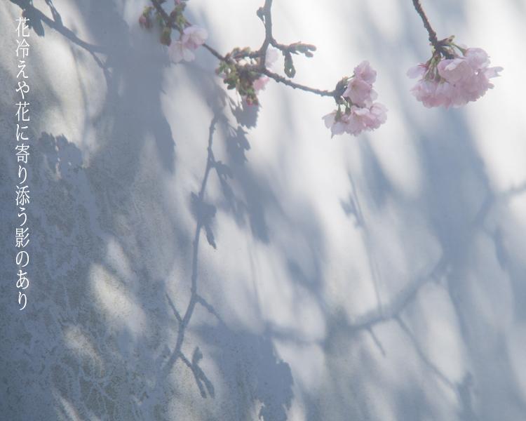 早咲きの桜。_b0022268_14405859.jpg