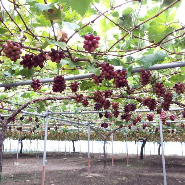 まるでブドウのような宝石たち~シャインマスカットのような葡萄石もありますよ~_d0303974_01571119.jpg