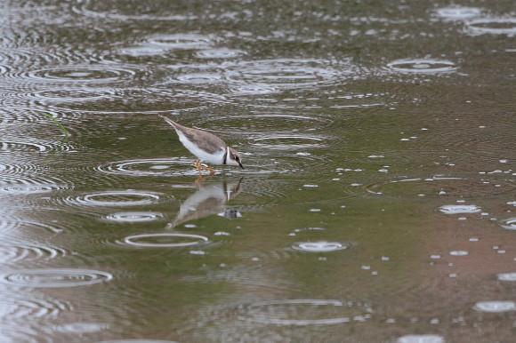 雨の降る遊水地のコチドリ      SDY_d0346713_07282481.jpg