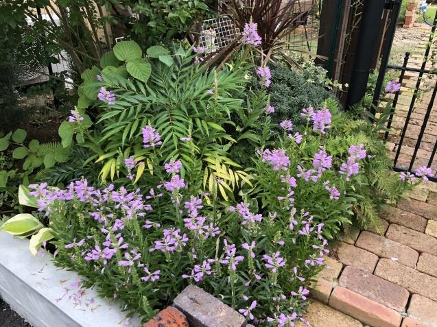庭入り口の「トラノオ」_a0243064_20190972.jpg