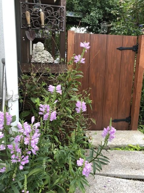 庭入り口の「トラノオ」_a0243064_20210008.jpg