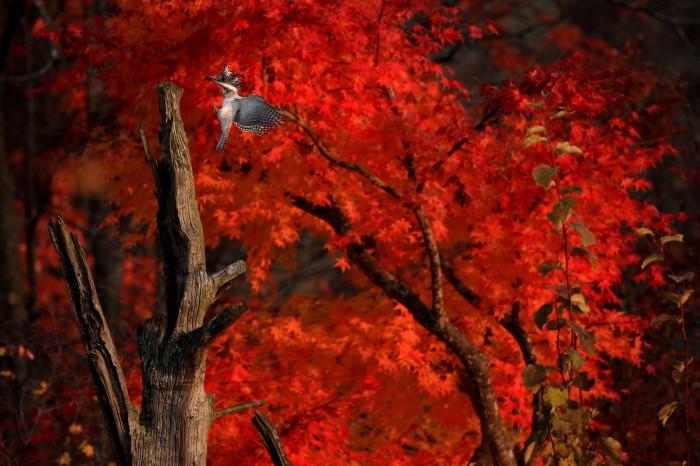 紅葉のヤマセミとナキウサギ_c0229170_21225188.jpg