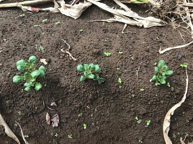 秋ジャガが次々に発芽、今年は収穫に期待9・16_c0014967_06183457.jpg