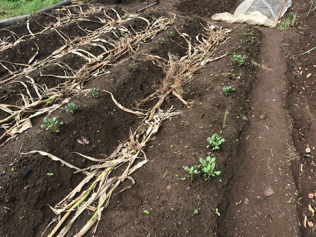 秋ジャガが次々に発芽、今年は収穫に期待9・16_c0014967_06190978.jpg