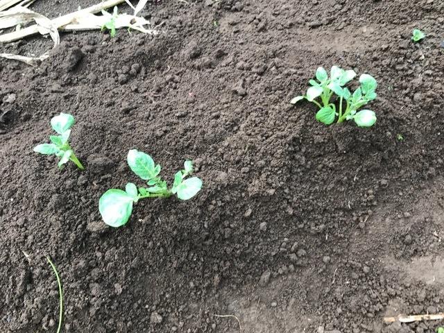 秋ジャガが次々に発芽、今年は収穫に期待9・16_c0014967_06192556.jpg