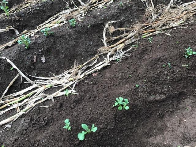 秋ジャガが次々に発芽、今年は収穫に期待9・16_c0014967_06193532.jpg