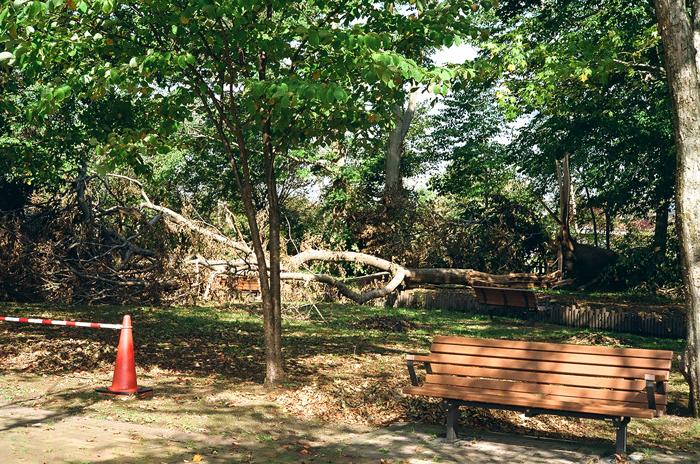 木芙蓉と千歳サーモンパークの風倒木_c0182775_18301888.jpg