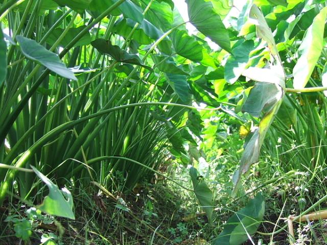 白菜、玉ねぎ用の畝がやっと完成_d0225575_23134848.jpg