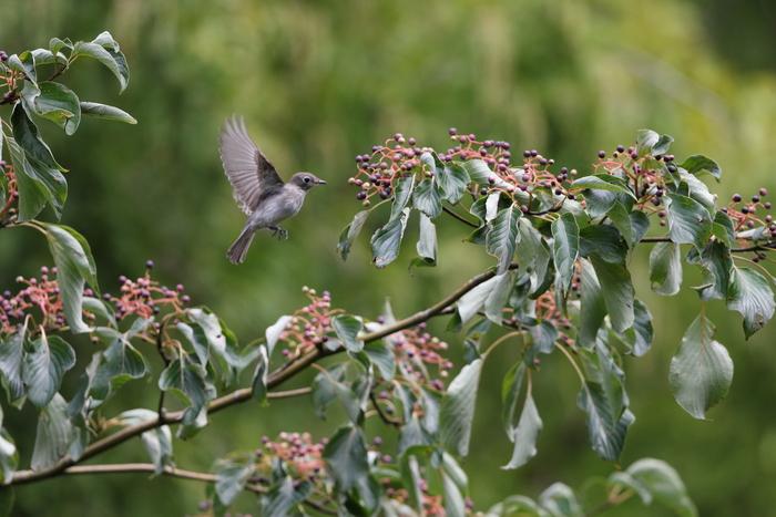 MFの森の渡りの立ち寄りの鳥達 その5(コサメビタキ)_f0239515_15105354.jpg