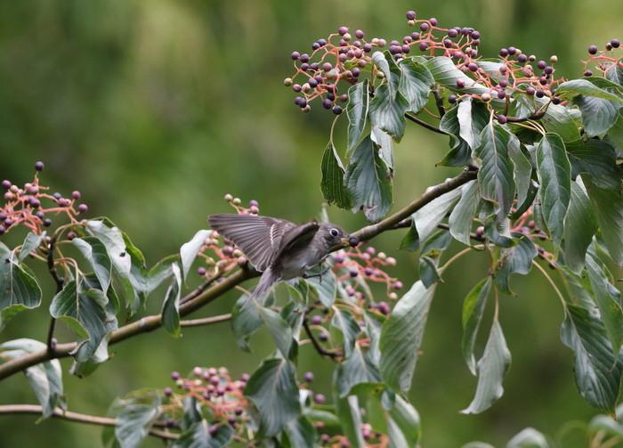 MFの森の渡りの立ち寄りの鳥達 その5(コサメビタキ)_f0239515_15112396.jpg