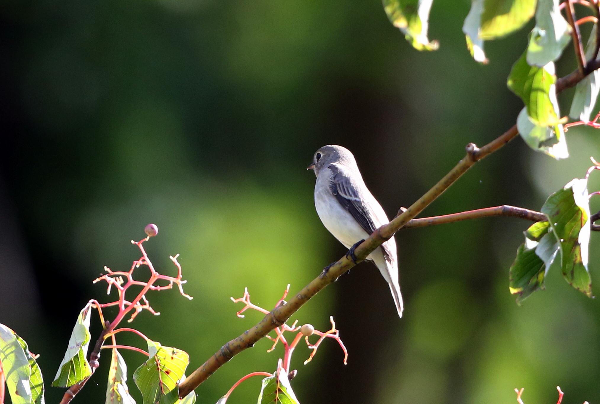 MFの森の渡りの立ち寄りの鳥達 その5(コサメビタキ)_f0239515_1575113.jpg