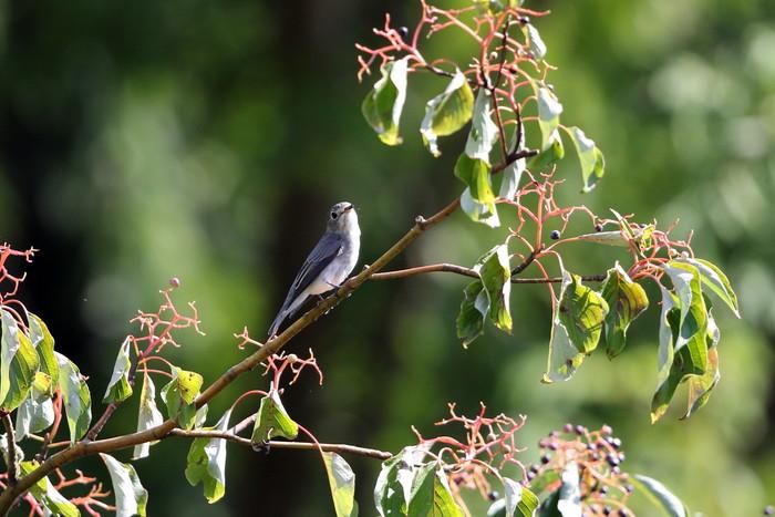 MFの森の渡りの立ち寄りの鳥達 その5(コサメビタキ)_f0239515_1583849.jpg