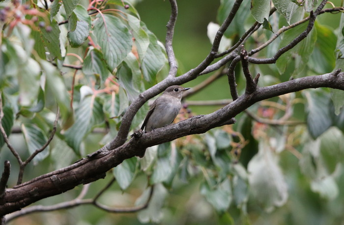 MFの森の渡りの立ち寄りの鳥達 その5(コサメビタキ)_f0239515_1593766.jpg
