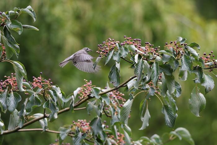 MFの森の渡りの立ち寄りの鳥達 その5(コサメビタキ)_f0239515_1595949.jpg