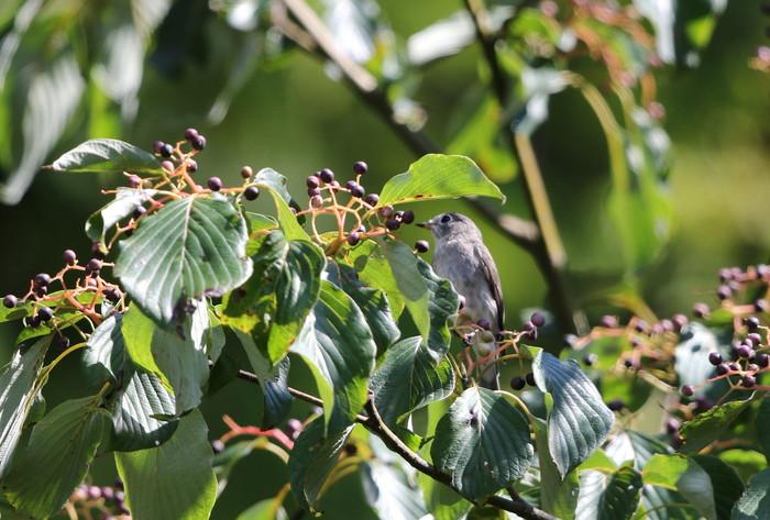 MFの森の渡りの立ち寄りの鳥達 その5(コサメビタキ)_f0239515_159813.jpg