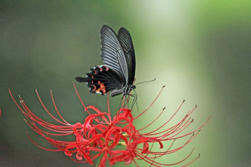 クロアゲハ  ヒガンバナの黒い蝶_d0353091_15274178.jpg