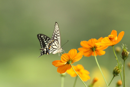 クロアゲハ  ヒガンバナの黒い蝶_d0353091_15281702.jpg