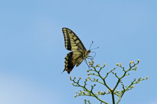 クロアゲハ  ヒガンバナの黒い蝶_d0353091_15285125.jpg
