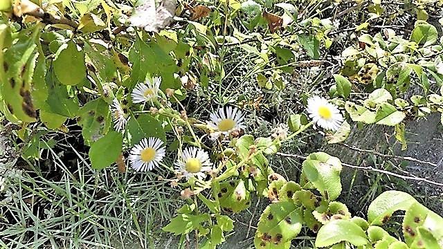 野に咲く花の美しさ、可愛さ・・・青森はベストのシーズンを迎える_d0181492_23385643.jpg