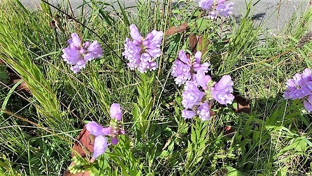 野に咲く花の美しさ、可愛さ・・・青森はベストのシーズンを迎える_d0181492_23392200.jpg