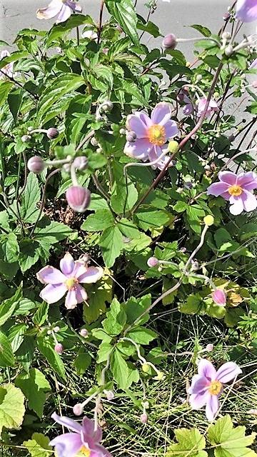 野に咲く花の美しさ、可愛さ・・・青森はベストのシーズンを迎える_d0181492_23393935.jpg