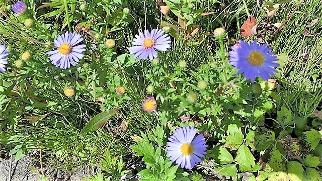 野に咲く花の美しさ、可愛さ・・・青森はベストのシーズンを迎える_d0181492_23395268.jpg