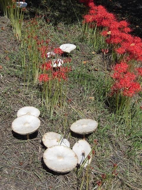 既に7分咲き? 滝川の彼岸花が見頃に 24日(祝)に「ヒガンバナウォーク」!_f0141310_07191304.jpg