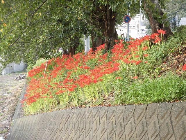 既に7分咲き? 滝川の彼岸花が見頃に 24日(祝)に「ヒガンバナウォーク」!_f0141310_07194992.jpg