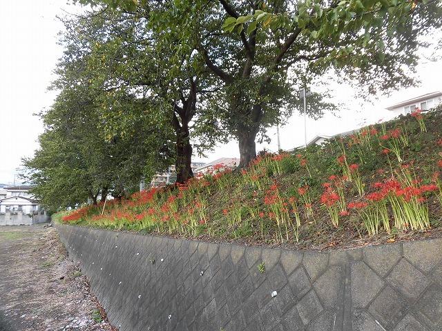 既に7分咲き? 滝川の彼岸花が見頃に 24日(祝)に「ヒガンバナウォーク」!_f0141310_07195593.jpg
