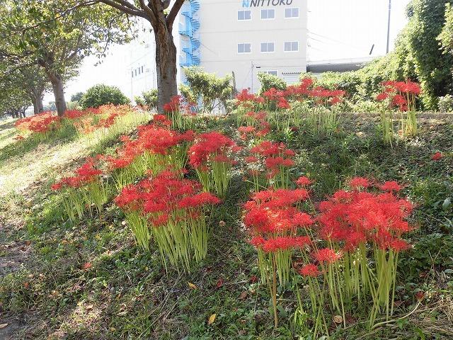 既に7分咲き? 滝川の彼岸花が見頃に 24日(祝)に「ヒガンバナウォーク」!_f0141310_07201206.jpg