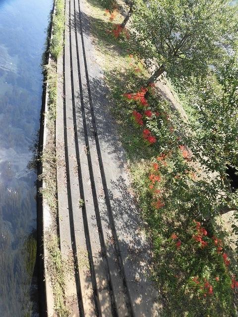 既に7分咲き? 滝川の彼岸花が見頃に 24日(祝)に「ヒガンバナウォーク」!_f0141310_07201923.jpg