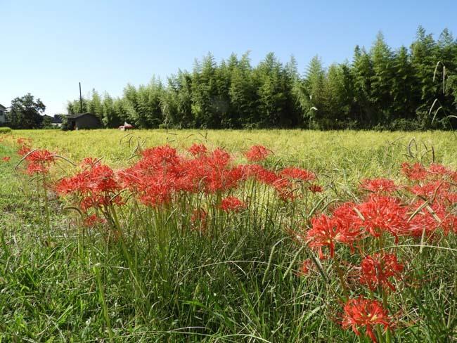 彼岸花が咲いた_e0048413_21372421.jpg