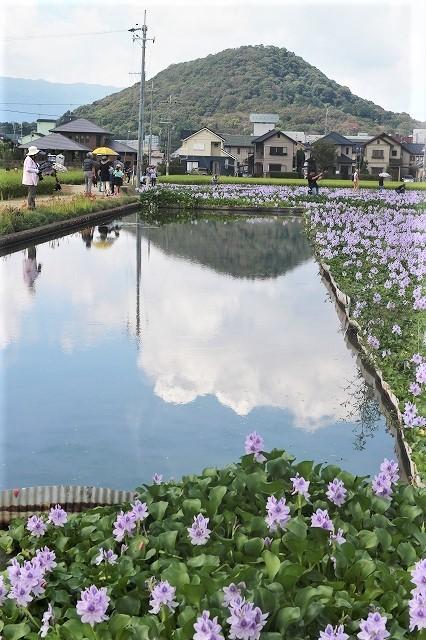 本薬師寺のホテイアオイと今井町ウオーク_b0044663_10144653.jpg