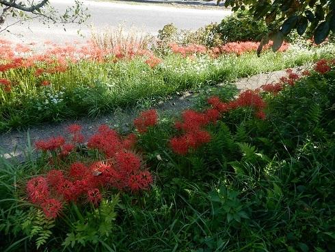紅い花、黄金の稲穂_e0175370_22505823.jpg