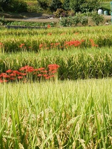 紅い花、黄金の稲穂_e0175370_22511917.jpg