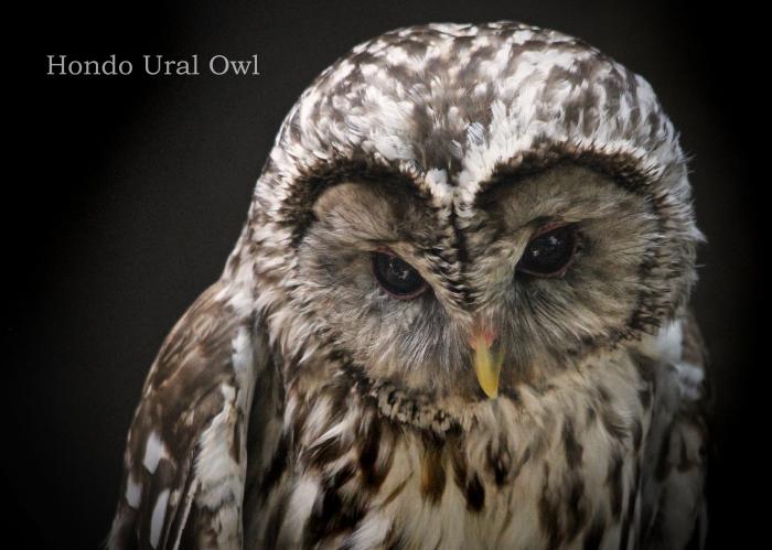 ホンドフクロウ: Hondo Ural Owl _b0249597_06160250.jpg