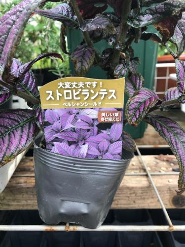 秋のコンテナ植栽_a0139105_07310364.jpg