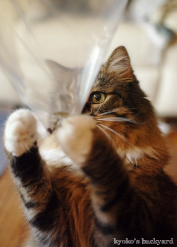 バッタと遊ぶBailey その1(猫ビデオ付き)_b0253205_04561130.jpg