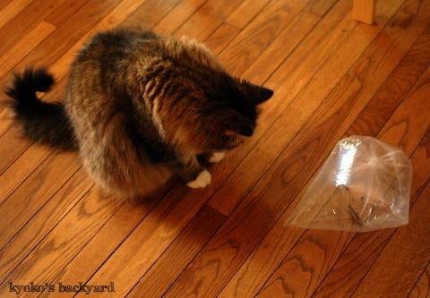 バッタと遊ぶBailey その1(猫ビデオ付き)_b0253205_04581888.jpg