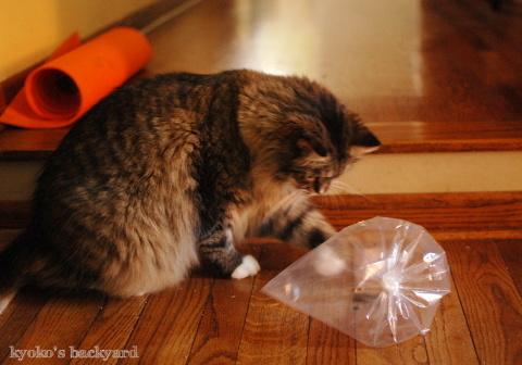 バッタと遊ぶBailey その1(猫ビデオ付き)_b0253205_04585269.jpg