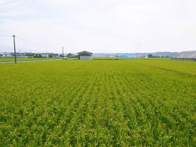 健康農園さんの無農薬栽培『雑穀米』『発芽玄米』売れてます!平成30年度の稲刈りはまもなくです!_a0254656_17502442.jpg