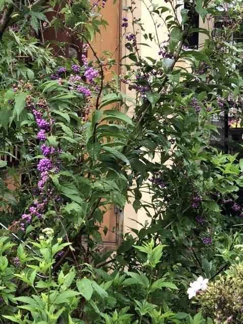 9月の庭「ヤブランと水引草など」_a0243064_16530718.jpg
