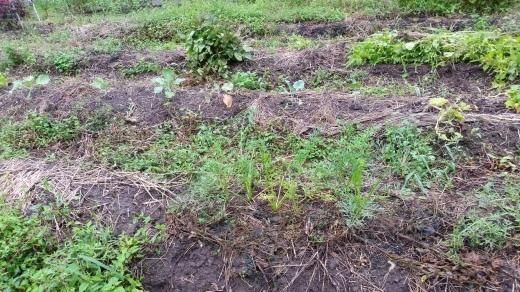 畑仕事~秋の種蒔きシーズン到来_f0208315_15594639.jpg