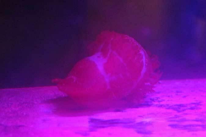 夜の不思議の水族園~夢か現かユメナマコ(葛西臨海水族園)_b0355317_21010569.jpg