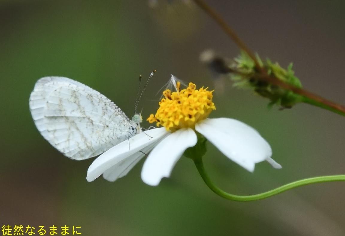 本部渓の蝶たち①_d0285540_07060476.jpg