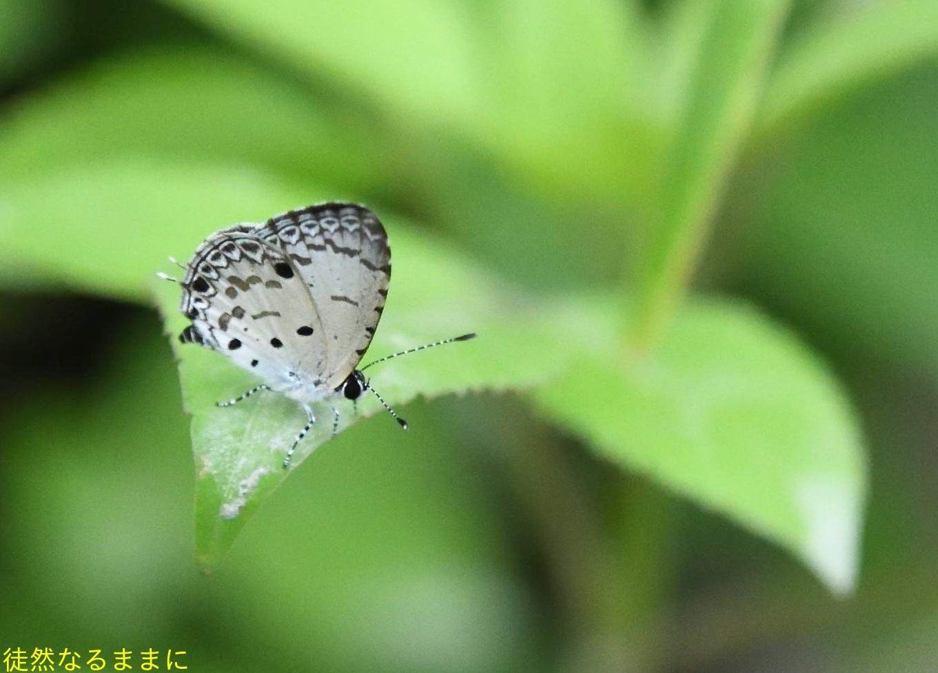 本部渓の蝶たち①_d0285540_07065512.jpg