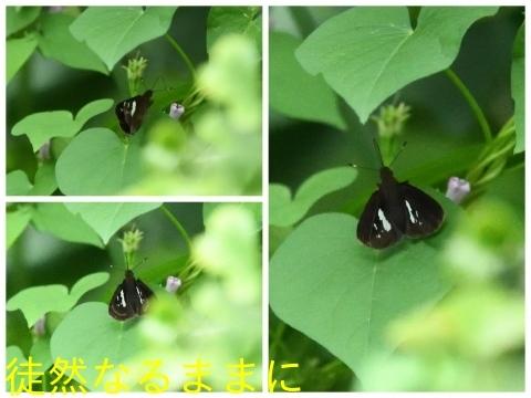本部渓の蝶たち①_d0285540_07085820.jpg