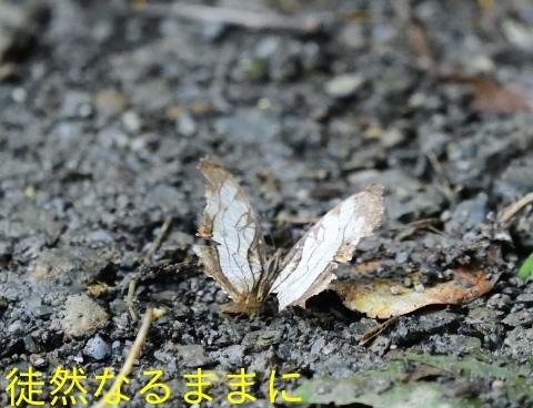 本部渓の蝶たち①_d0285540_07102541.jpg